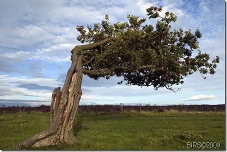 DSC_0019 - MOD1 - Tree on Stanton Moor - near Birchover - 11-08-09